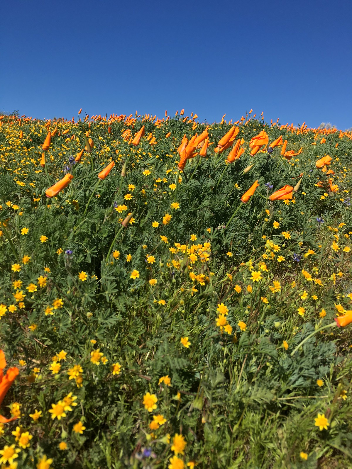 Adventures to the AV Poppy Reserve