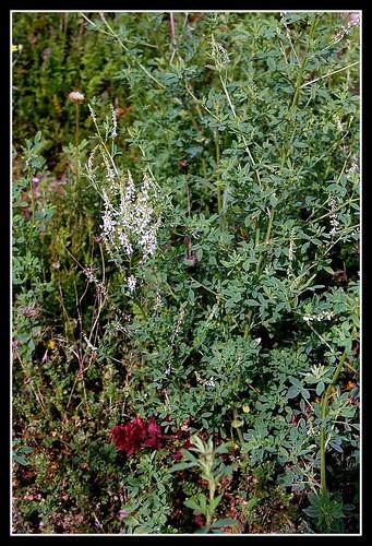 Melilotus albus - mélilot blanc 33313084734_2ecfab29aa