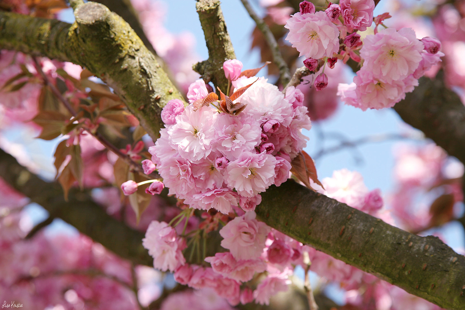 Pink Japanese cherry blossoms flowers in bloom closeup branch tree europe Belgium Spring Easter April 2017