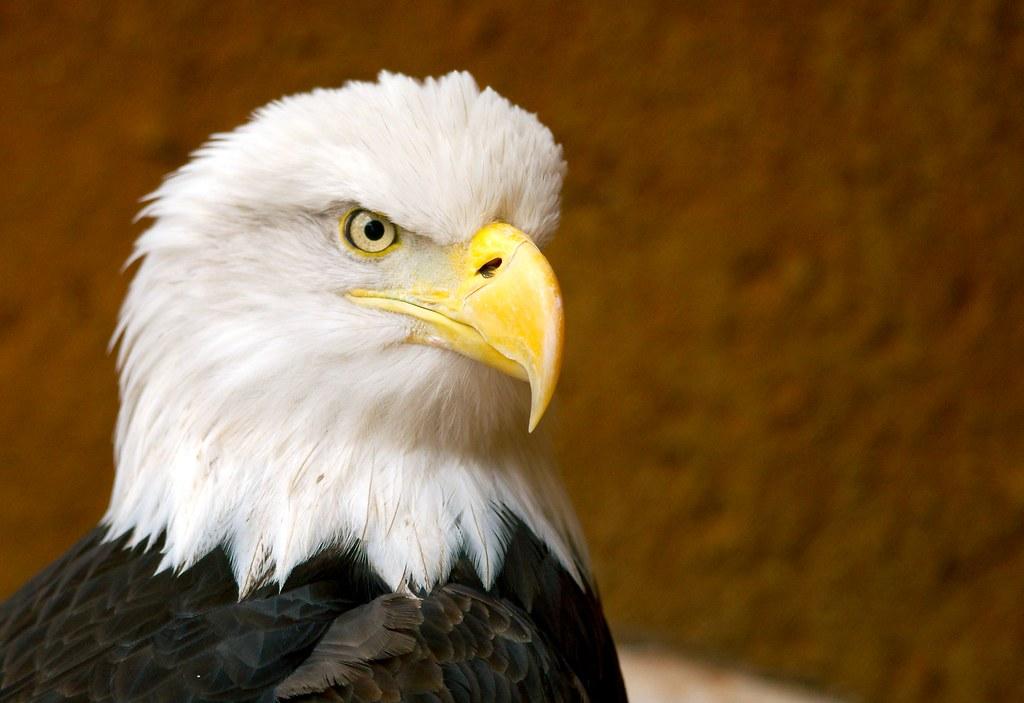 Bald Eagle_1