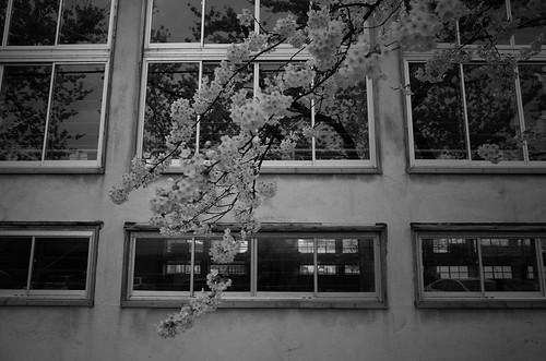 sakura memory 2017 2