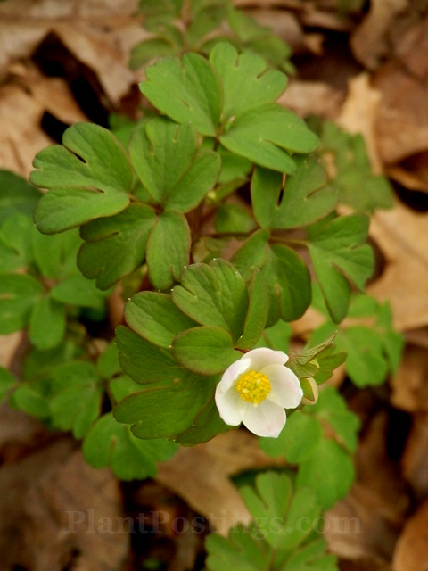 false rue anemone 2
