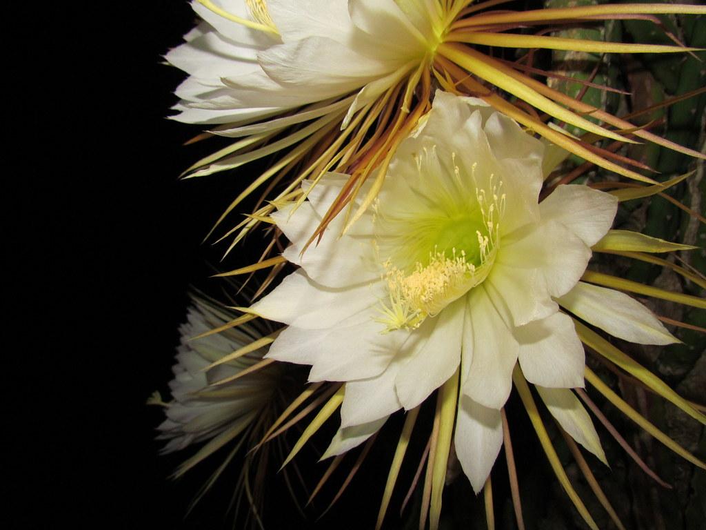 Cactus Flower Blooms at night Taran Rampersad