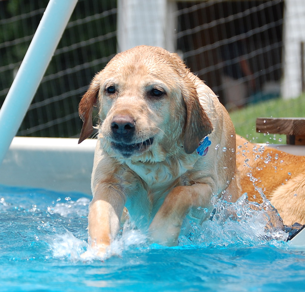 Swimming Pool Dogs Desperate Dogs Usa Penny Miller Flickr