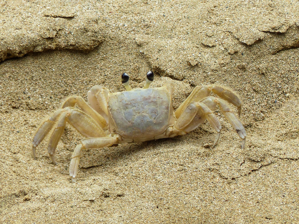 Tropical Island Beach Ambience Sound: Atlantic Ghost Crab / Ocypode Quadrat