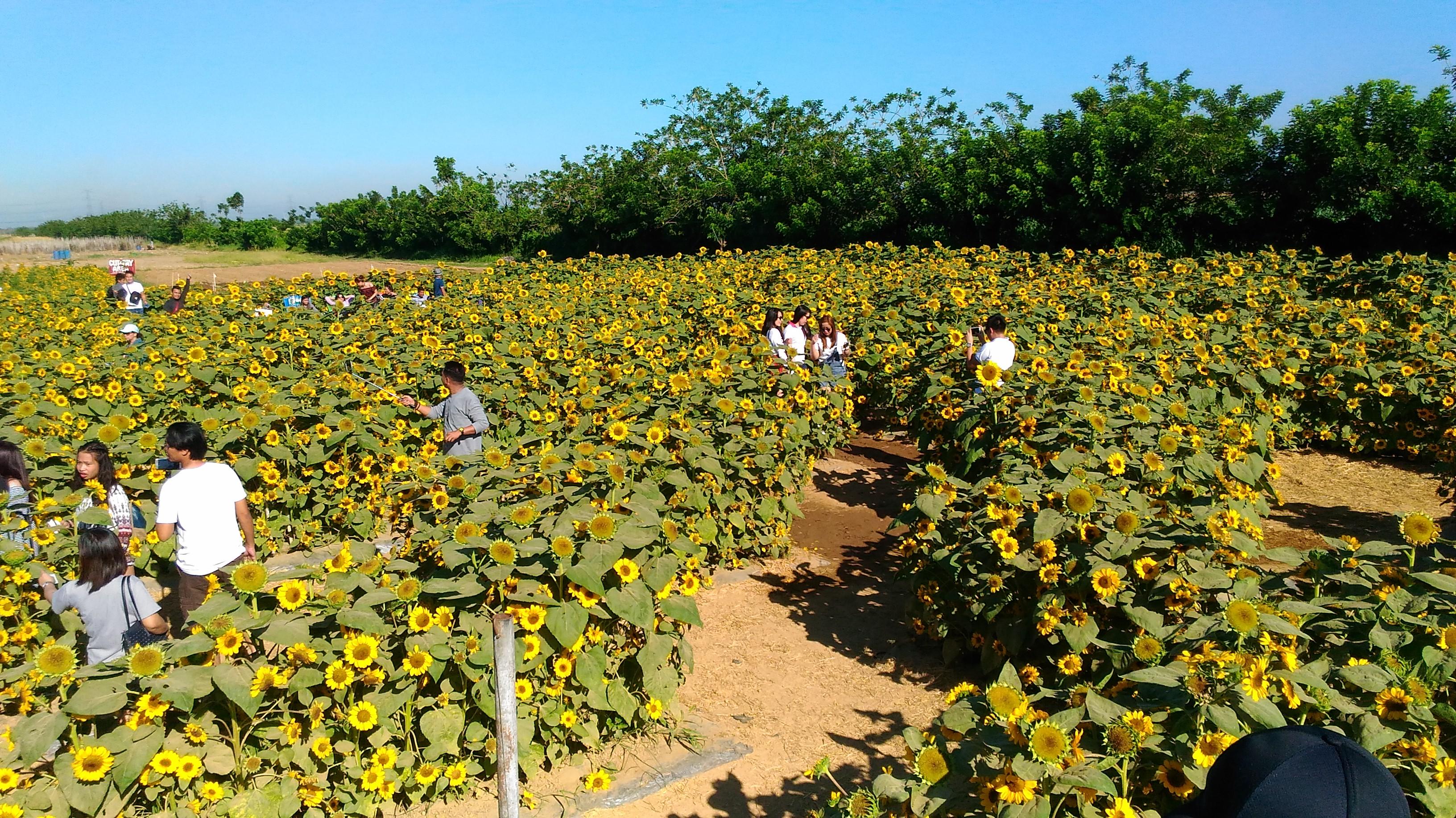 sunflower maze_2017_7
