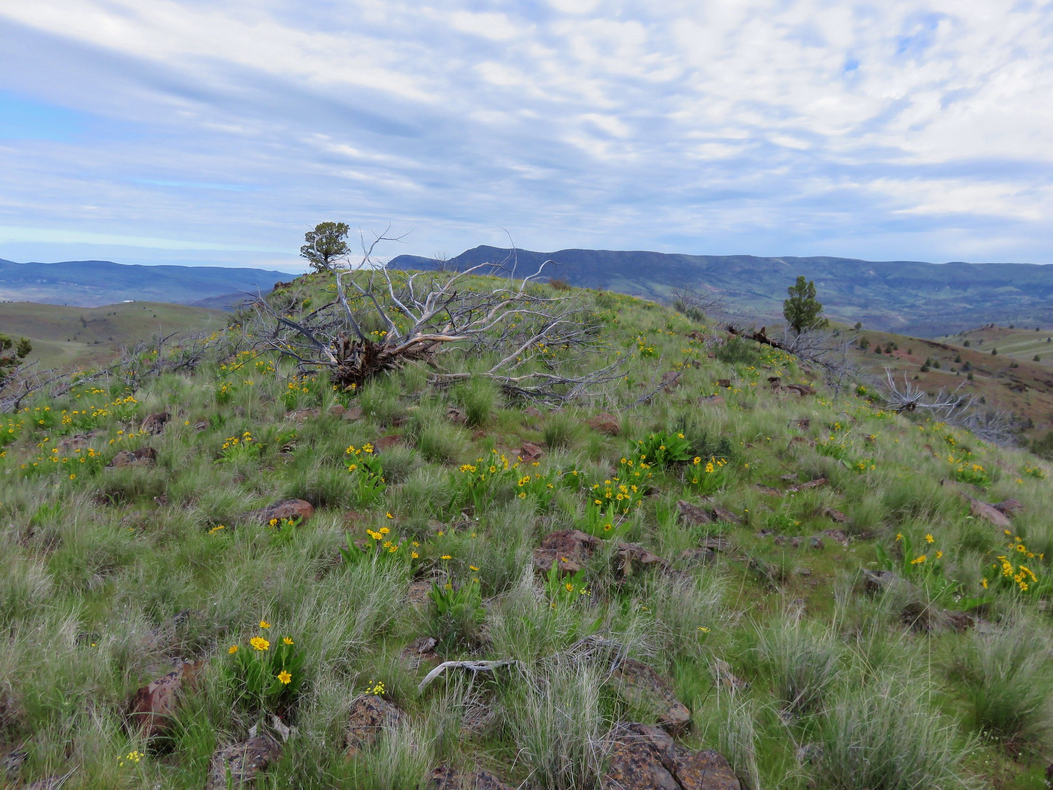 Balsamroot in the Spring Basin Wilderness
