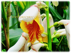 Showy and drooping flowers of Alpinia zerumbet (Shell Ginger, Butterfly Ginger, Pink Porcelain Lily), 29 Dec 2009