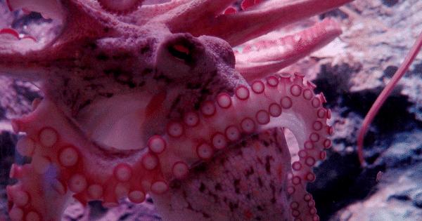 octopus-600x315