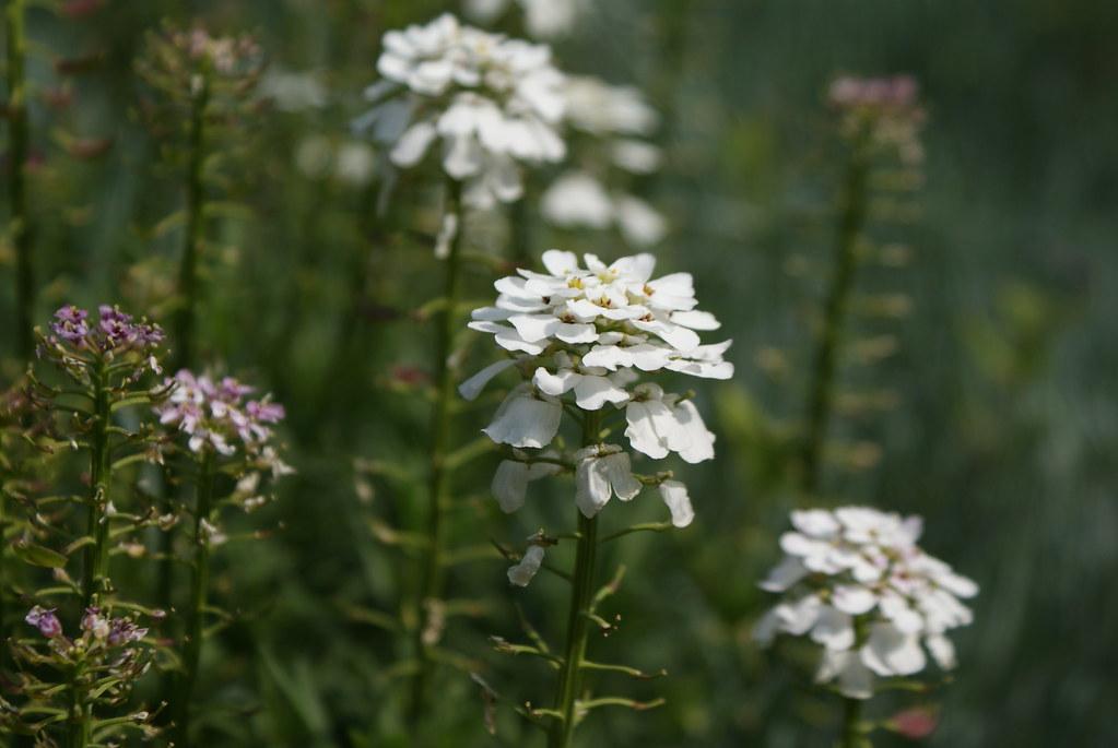 Dans la partie fleurs et plantes de montagne (rocaille) : Iberis sempervirens.