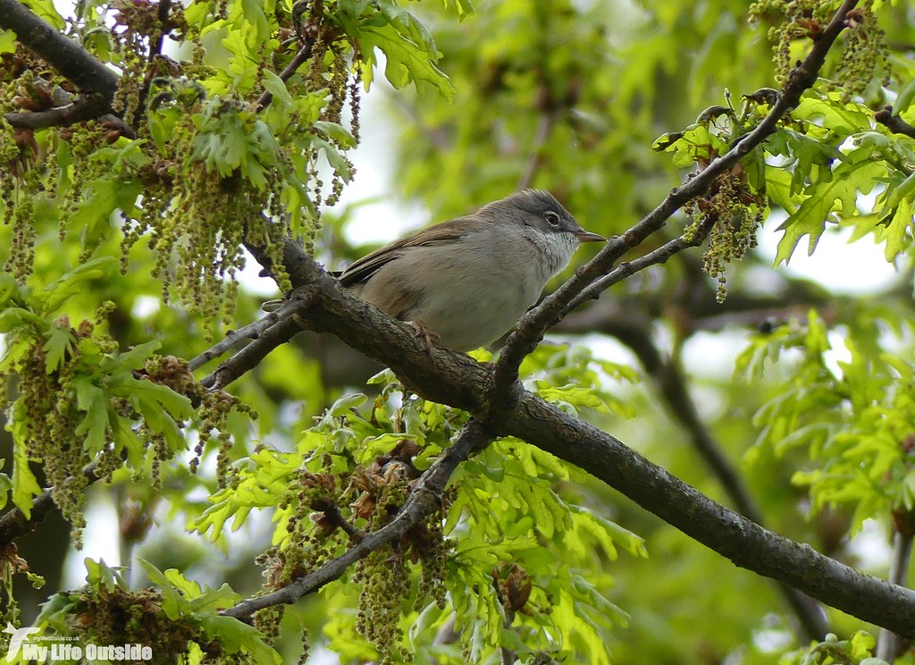 P1070500 - Whitethroat