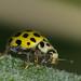22-spot ladybird - Psyllobora 22-punctata