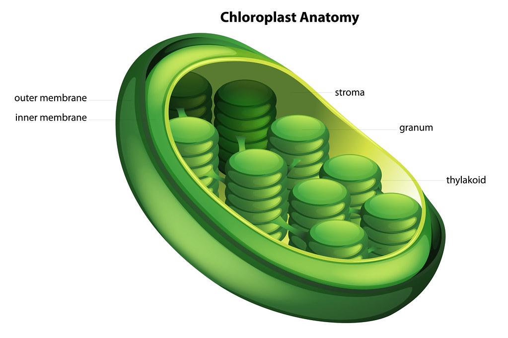 Choloroplast | Illustration showing the chloroplast ...