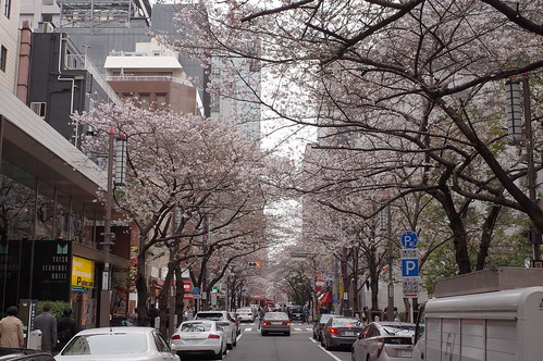 cherry blossoms at Sakura street