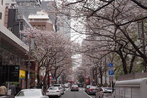 cherry blossoms at Sakura street
