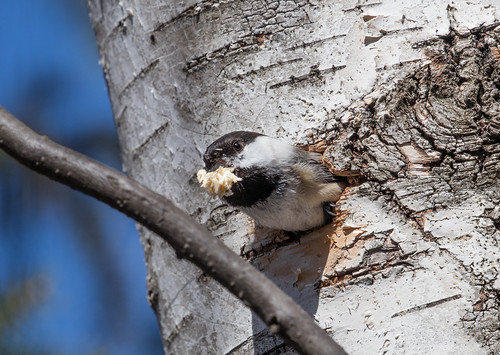 Black-capped Chickadees building nest
