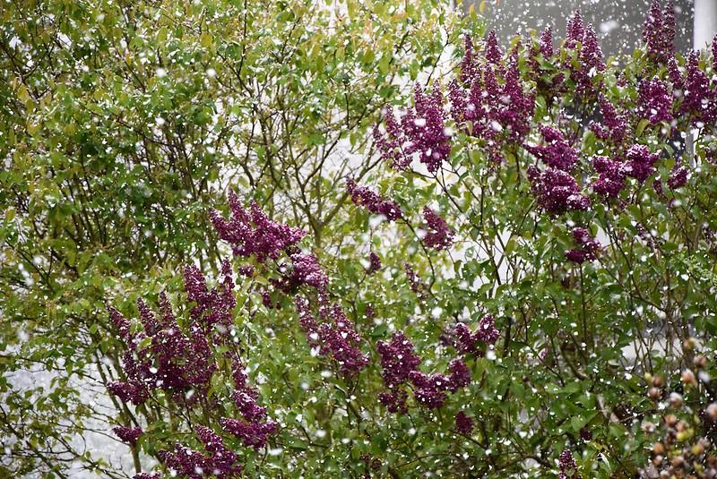 Lilac 19.04 (2)