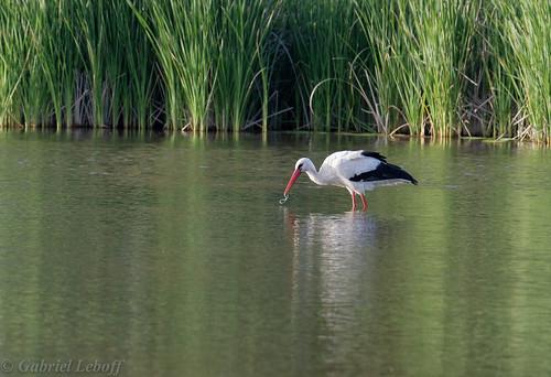 Cigogne blanche-Ciconia ciconia - White Stork 8045_DxO.jpg