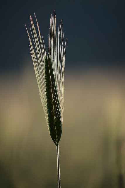 Corn Stalk in Backlight