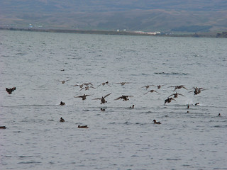 047 Groep vliegende eenden