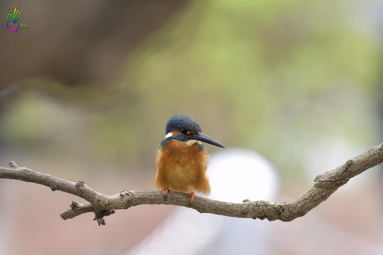 Common_Kingfisher_1172