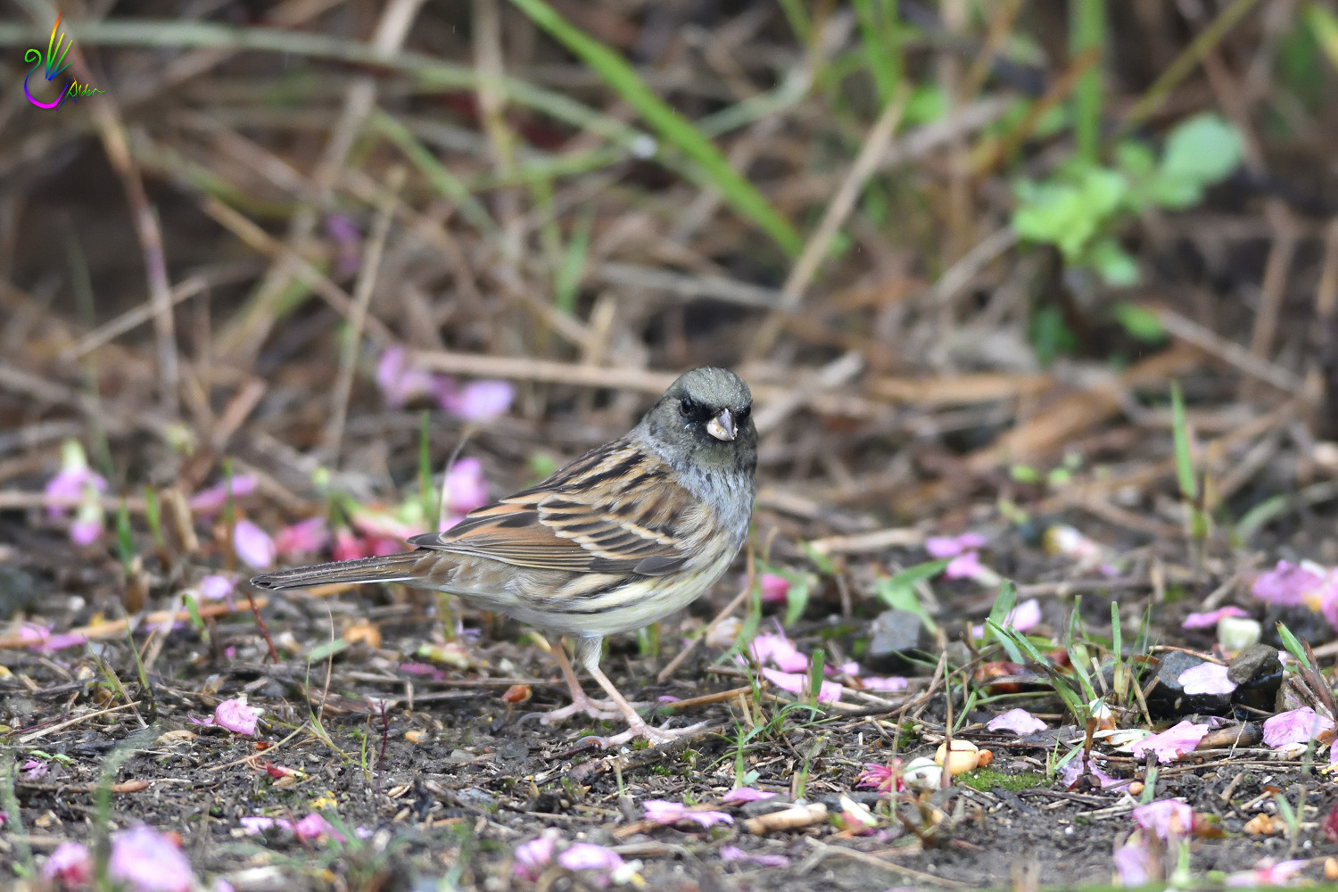 Black-faced_Bunting_7510
