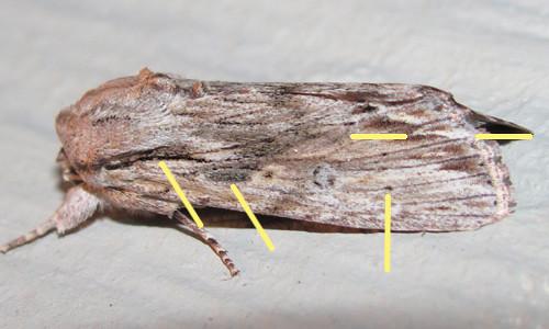 Spodoptera albula_5605_marks