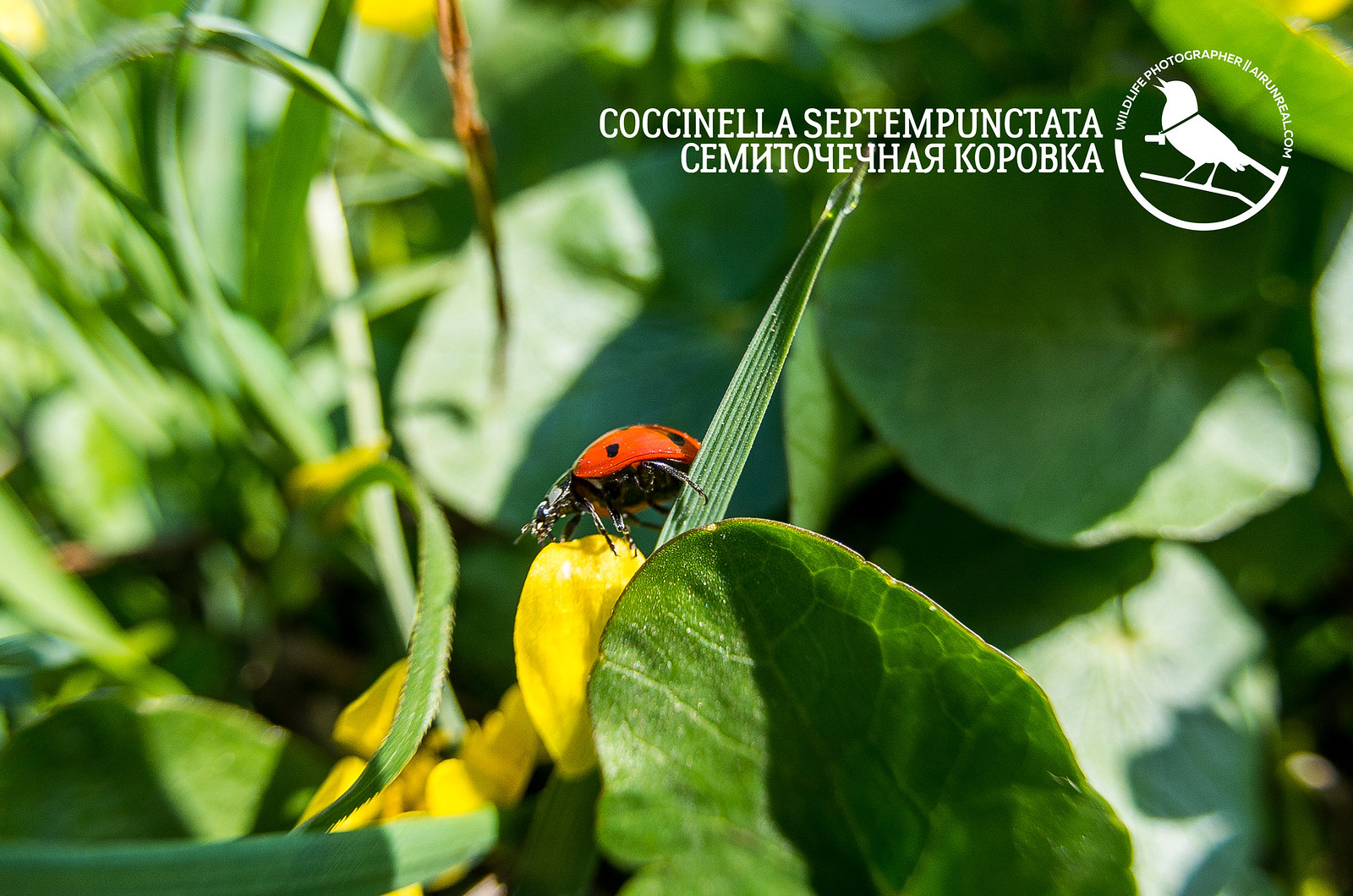 Coccinella septempunctata // 14042017