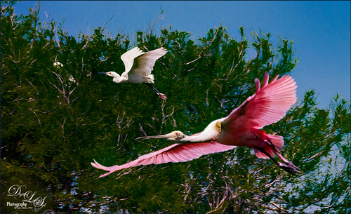 A Snowy Egret and Roseate Spoonbill flying in formation at the Rookery