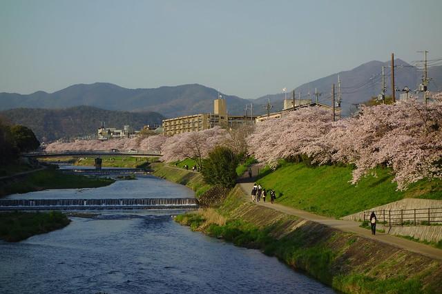 2017/04 高野川の桜 #10