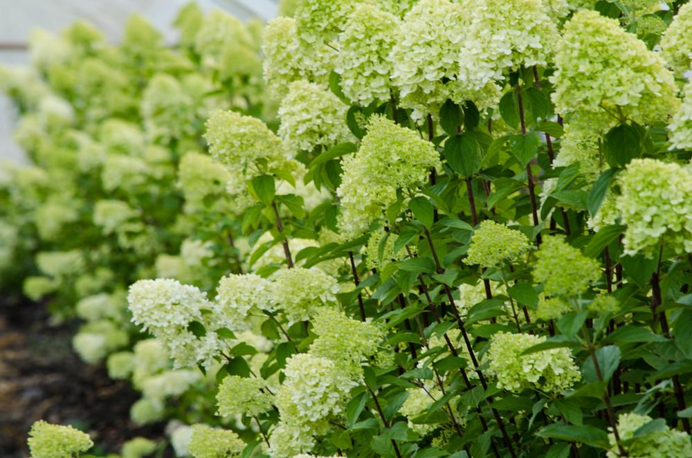 Limelight hydrangea limelight hydrangea zcallas for Limelight hydrangea