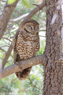 Spotted Owl | by phil.jeffrey