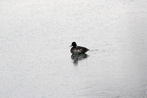 Stuck Duck