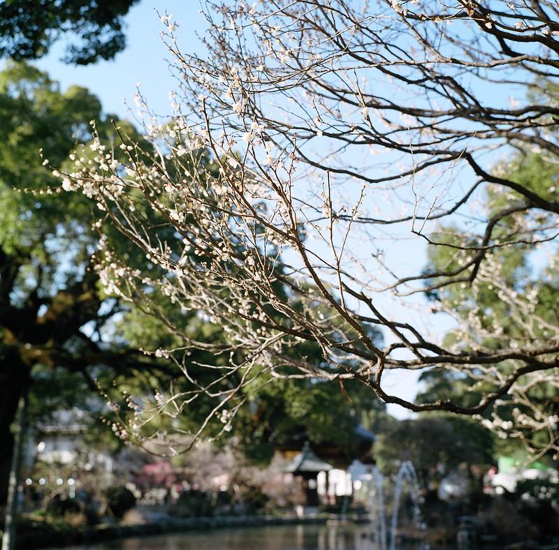 梅の花と太宰府天満宮