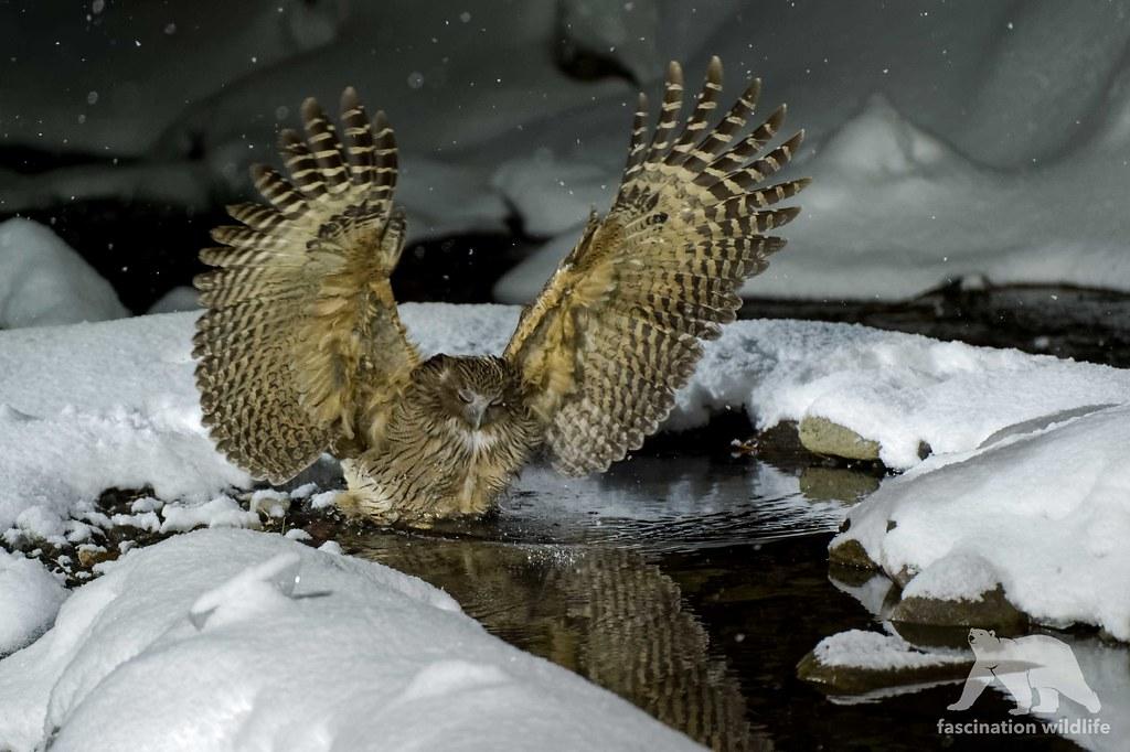 Blakiston S Fish Owl Hunting Blakiston S Fish Owl In