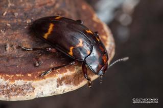 Darkling beetle (Ceropria sp.) - DSC_3732