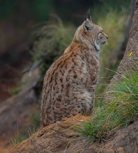 Lince .Parque de La Naturaleza de Cabárceno #DePaseoConLarri #Flickr -5747