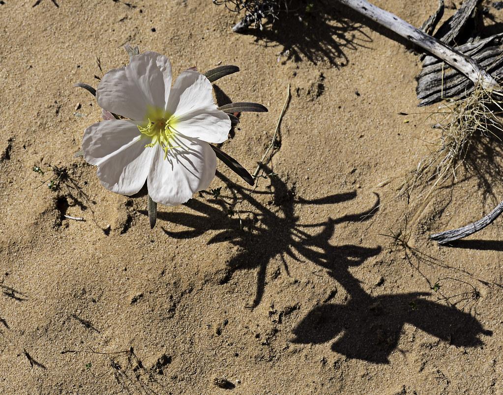 90246936928 87 White Desert Flowers Blooming In Valley Of Flickr