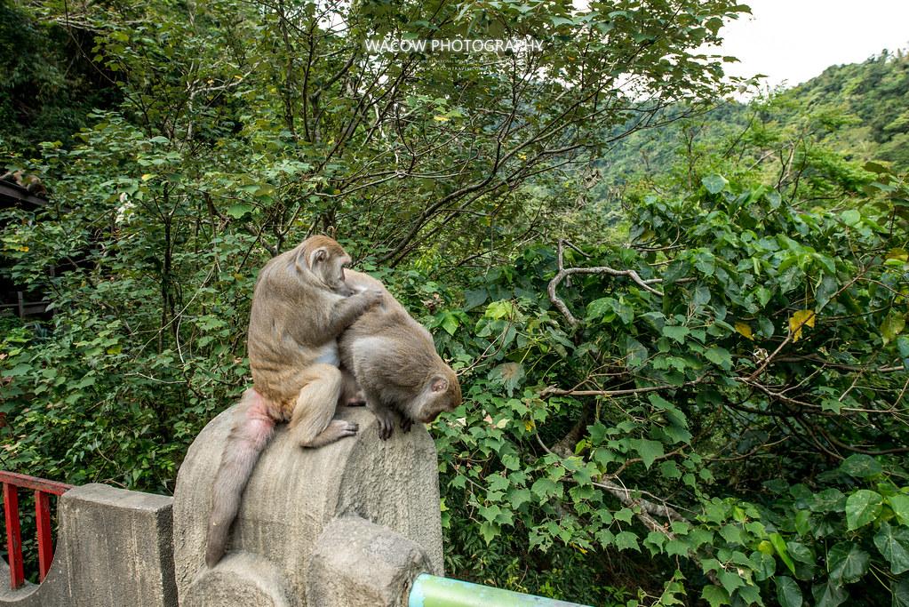 台東泰源看猴子1