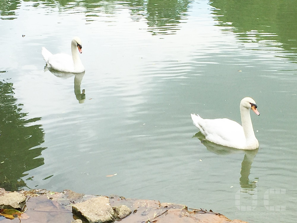 botanic gardens, singapore, singapore botanic gardens, swan lake, tanglin gate, where to go in singapore, sbg,unesco,swans