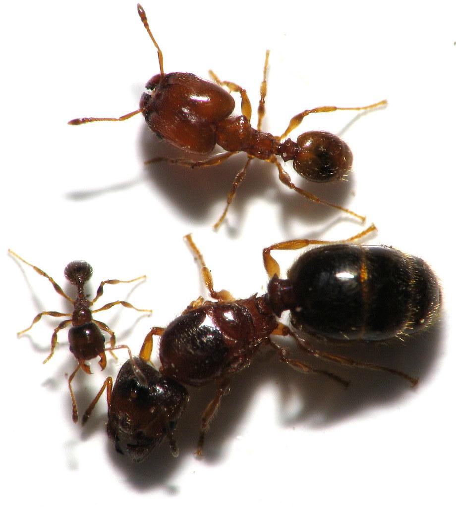 Queen Ant Size Comparison