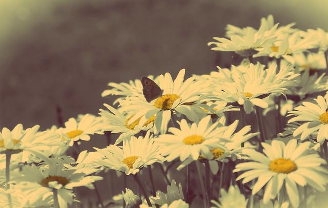 Vintage Daisy   Flickr - Photo Sharing!