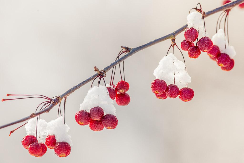 Winter Berries Barbara Friedman Flickr