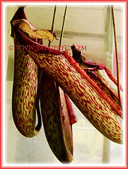 The showy Nepenthes x hookeriana (Hooker's Pitcher-Plant, Tropical Pitcher Plant, Monkey Cup), 9 Nov 2011