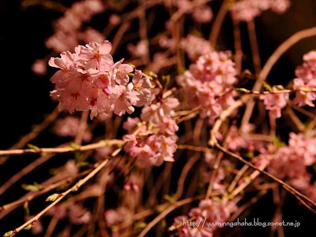 中島丁公園 夜桜