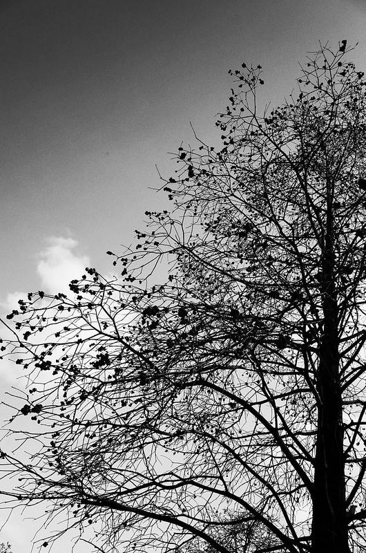 円錐の樹形