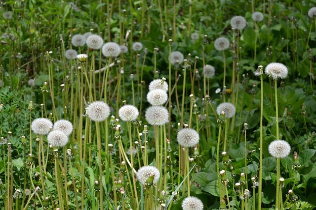 , Dandelion puff