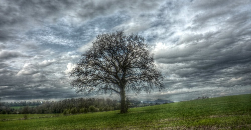 Worcestershire - Martley - Oak tree