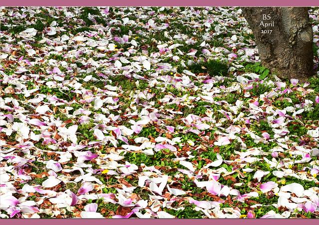 Frühlingserwachen rund ums Mannheimer Klinikum - UMM - April 2017 - Magnolien, Osterglocken, Persischer Ehrenpreis, Löwenzahn, Veilchen, Gundermann, Scharbockskraut ... Frühlingsblüten, Farbenrausch, Blumensträußchen von der Wiese ... Fotos: Brigitte Stolle 2017