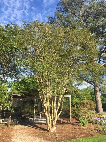 Lagerstromia indica 'Ozark Spring' Hammond LA 2017